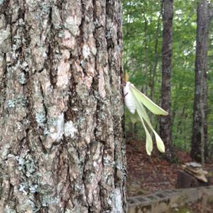 luna moth fledgling 2 july 14 2017