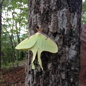 luna moth fledgling july 14 2017